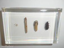 Mealworm Beetle Life Cycle Set Tenebrio molitor Insect Specimen Teaching Aid