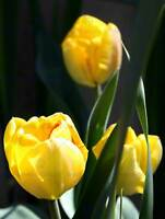 NATURE BOTANY FLOWER YELLOW TULIP PHOTO POSTER ART PRINT HOME PICTURE BB1326B