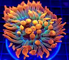 Rainbow Bubble Tip Anemone * Rbta * Live Coral Frag * Aj's Aquariums