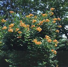 Campsis (Trumpet Vine) radicans 1,000 seeds Need More? Ask