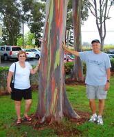 200/BAG rare Rainbow Eucalyptus deglupta  showy tropical tree seeds for garden p
