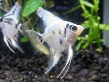 2 Platinum Panda Angelfish aquarium breed Tropical Freshwater Angelfish