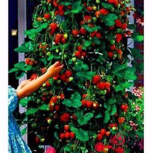 Red Climbing Strawberry Viable Seeds, Garden Pot Creeping Plant,  UK Stock
