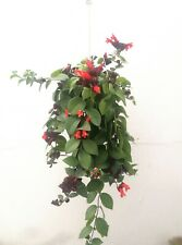 AESCHYNANTHUS RADICANS ' MONA LISA ' 3 x Cuttings Esquejes LIPSTICK PLANT Red