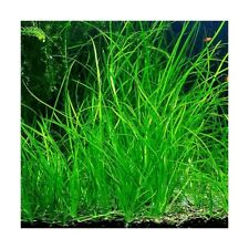 Vallisneria nana, live aquarium plant