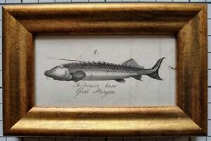1806 GREAT STURGEON FRAMED ANTIQUE ORIGINAL PRINT - SMALL SIZE - 215 YEARS OLD