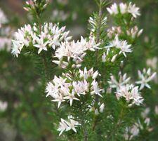 Calytrix sullivanii in 75mm supergro tube native plant
