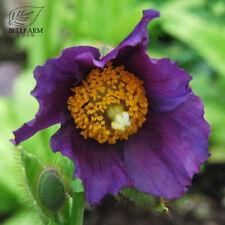 Himalayan Purple Poppy Rare Flowers Plant Beautiful Petals 100 Seeds Perennial