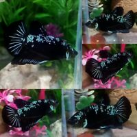 Green Black Halfmoon Plakat Male - IMPORT LIVE BETTA FISH FROM THAILAND