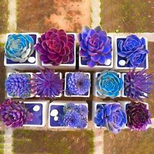 Egrow 200PCS Echeverione Succulent Seeds Mixed Color Garden Potted Flower Seed