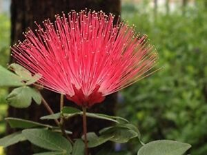 RED DWARF Powder Puff Flowering Shrub Plant Unique Red Bloom Attract Hummingbird