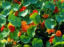 10 GRAINES CAPUCINES GEANTES des Açores orange, jaune et rouge