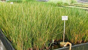 Live Gold Strike Rush Winter Hardy Aquatic Marginal Pond/Bog Plant