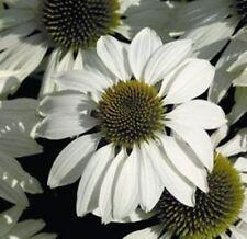 Kings Seeds - Echinacea White Swan Primadonna -  150 Seeds
