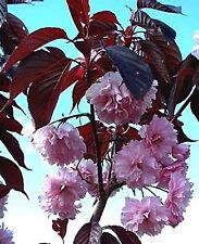 5ft DWARF Red Leaf Japanese Cherry, Prunus Red Sun (R.Burgundy) - 5litre