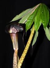 Arisaema taiwanense Exotic Voodoo Lily Flower Bulb