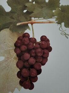 Vtg 1908 RED EAGLE GRAPE Color Plate Print U P Hedrick Winery Botanical Kitchens
