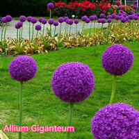 10pc Giant Allium Globemaster Allium Giganteum Onion Organic Flower Seeds Garden