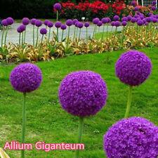 Large Allium Globemaster  Giganteum Onion Organic Magenta Seeds & Bulbs 10x