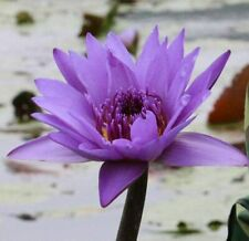 Lotus Purple Flower Lotus Seeds Aquatic Plants Water Lily Seed 10 Pcs Free Ship
