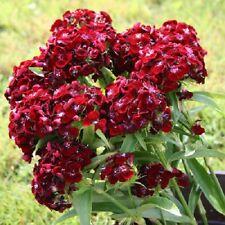 50 Pelleted Seeds Dianthus Seeds Sweet Black Cherry