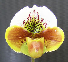 QOB Orchid Plant Red complex Paphiopedilum Yi Ying Colorful Clouds POT90mm 3YO