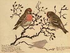 "ORIGINALE VINTAGE Bird Print ""redpolls acanthis FLAMMEA"""