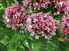 Cassia Nodosa - Pink & White - Rare Tropical Plant Tree Seeds (6)