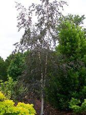 Betula pendula 'Purpurea' Purple Leaf Birch Tree grown peat free in 3L pot 3-4ft