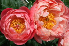 Peony 'Coral Charm' (Sections of roots) (Free UK Postage)