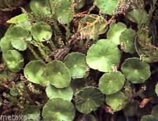 6 jeune tiges Hydrocotyle vulgaris