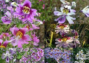 300+ Samen Schizanthus MIX - Gefiederte Spaltblume , Bauernorchidee