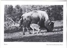 "*Postcard-""Bison Cow Feeding Her Calf"" *Yellowstone National Pk (A257-6)"