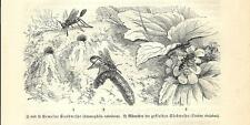 Stampa antica INSETTI VESPA DELLA SABBIA e CABRO STRIATUS 1891 Old antique print