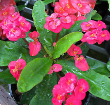 PINK SOMONA The Forever Flower Euphorbia all-year-flowering plant in 140mm pot