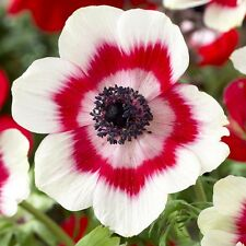Bolly Bulbs® 10 x Bi-colour Anemone De Caen  corms,strikingwhite/red flowers