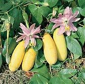 Tropical Long Yellow Banana Passion Fruit Vine seeds (Pack of 10 Seeds)  R-034