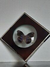 Lépidoptérophilie / Papillon naturalisé sous verre bombé Cadre N. Boubée PARIS