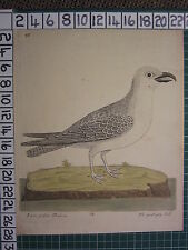 c1735 THE GREAT GRAY GREY GULL ~ ANTIQUE BIRD PRINT ELEAZER ALBIN ~