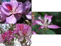Bauhinia purpurea 10 seeds Purple Orchid Tree Small evergreen classic fragrance