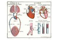 BLOOD CIRCULATION POSTCARD - FRENCH LANGUAGE - CIRCULATION DU SANG NEW & PERFECT
