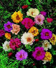 1000 Graines de Pourpier à Grandes Fleurs Doubles Variées / Portulaca