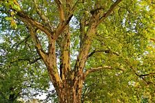 15 Semillas - PLATANUS HISPÁNICA - Árbol Jardín - Samen Semi