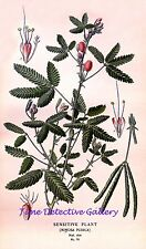 Botanical Illustration of a Sensitive Plant (Mimosa Pudica) - Historic Art Print