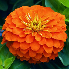 ZINNIA DAHLIA ORANGE - 120 SEEDS - Giant - Zinnia elegans