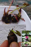 Zwergseerose Rose Arey Bonsai für´s Aquarium / tolles Geschenk Valentinsgeschenk