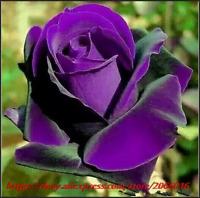 Seeds Bonsai Roses 200 PCS Germany Rare Purple Dragon Rose Flowering Plants NEW
