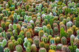 Cacti Seeds Mix - 50+ Seeds - Ships from Iowa, USA - Grow Exotic Cacti