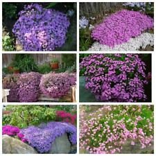 100 Soapwort Flower Seeds Home Garden Delicious Healthy Tender Perennial Plants