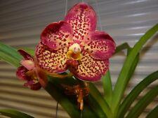 Orchid, Vanda, ' Ascda. Crownfox ' Golden Dawn ' , South Florida Grown